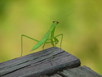 Praying mantis on wooden board